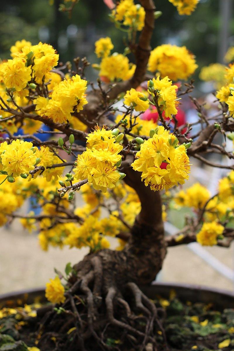 ý nghĩa các loài hoa, tên tiếng anh, hoa mai